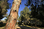 Israel, Lower Galilee. Pine trees by Bet Keshet scenic road
