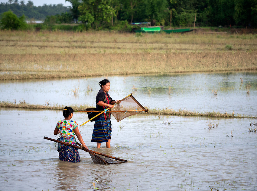 Women catching small fish and shrimps in the flooded waterways and rice fields, Rakhine State, Rural Myanmar