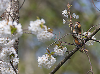 This Townsend's chipmunk was busy snacking on cherry blossoms in Yost Park.