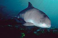 harbour porpoise, common porpoise, Phocoena phocoena, Sognefjord, Norway, Atlantic Ocean