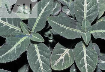 Variegated leaves of Ruellia makoyana.