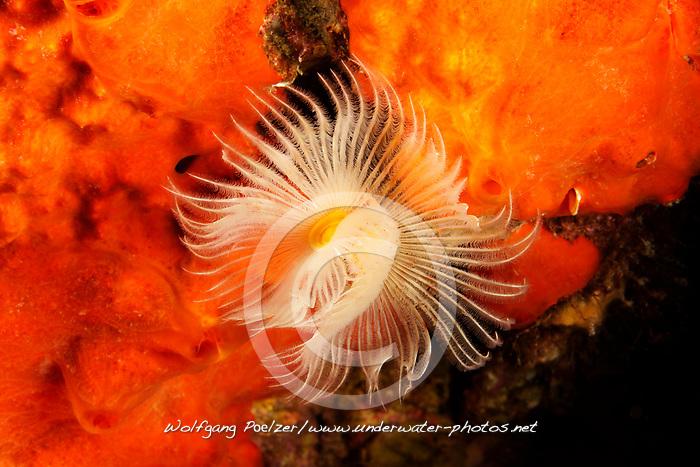 Protula tubularia, Roehrenwurm, Kalkroehrenwurm, Chalktube worm, Adria, Adriatisches Meer, Mittelmeer, Kroatien, Adriatic Sea, Mediterranean Sea, Croatia