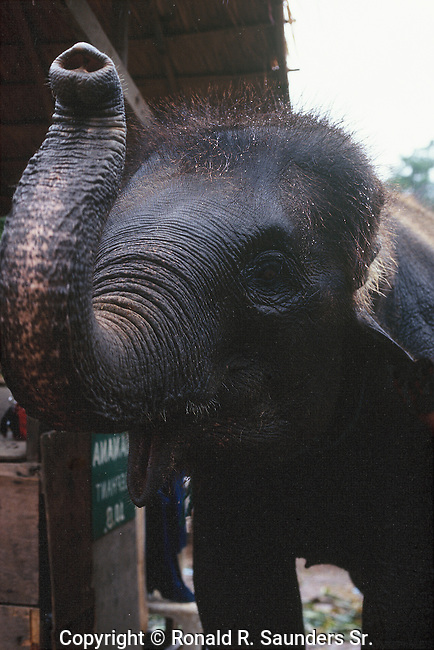 YOUNG ELEPHANT AT SOUTHEAST ASIAN ELEPHANT PARK