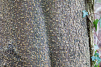 Traubenkirsche, Gewöhnliche Traubenkirsche, Rinde, Borke, Stamm, Baumstamm, Prunus padus, European Bird Cherry, Bird Cherry, bark, rind, trunk, stem, Merisier à grappes