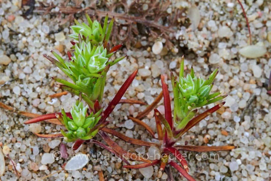 Einjähriger Knäuel, Einjahrs-Knäuelkraut, Scleranthus annuus, German knotweed, annual knawel