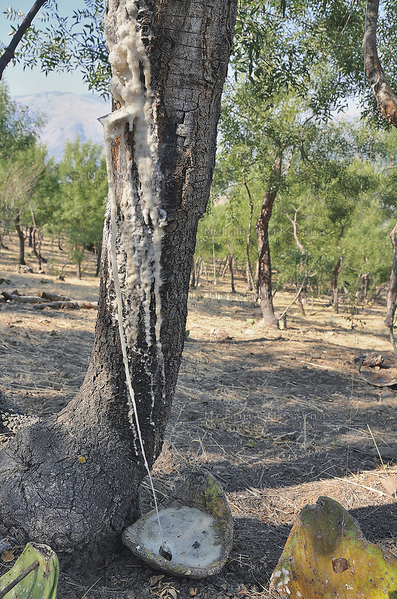 Castelbuono,  manna nel frassineto..<br /> Castelbuono: manna in the wood ash.
