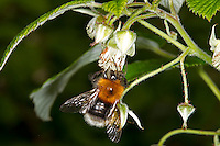Tree Bumblebee - Bombus hypnorum - male on bramble