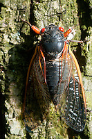 CICADA BROOD II<br /> Periodical Cicada<br /> Brood II Cicada in Westfield, NJ. These periodical cicadas emerge every 17 years in the northeastern United States when soil temperatures are around 64 degrees.