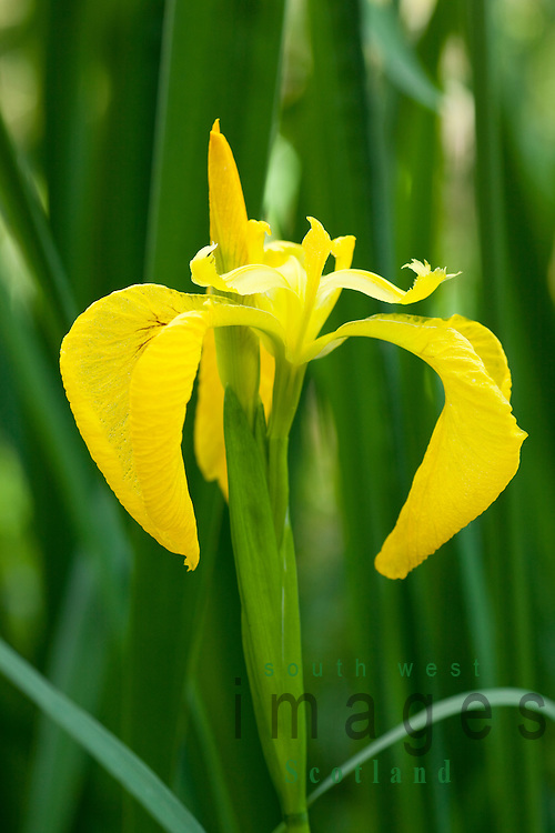 wild flower yellow iris, iris pseudacorus, at the edge of castle, Natural flower