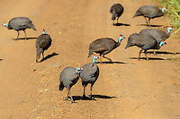 Guineafowl, also called Guineahen.  Hluhluwe-Umfolozi Game Reserve, South Africa.