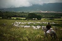 La mandria di bovini della famiglia Colantuono in cammino lungo l'antico tratturo che dalla puglia porta alle montagne di Frosolone in Molise..The Colantuono family's herd walks toward a cooler climate.
