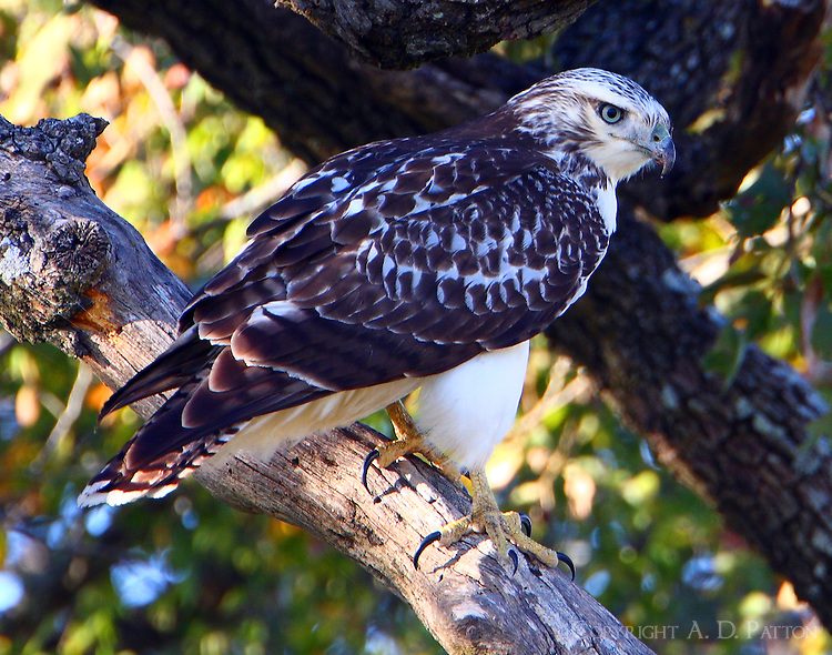 Juvenile Harlan's hawk light form