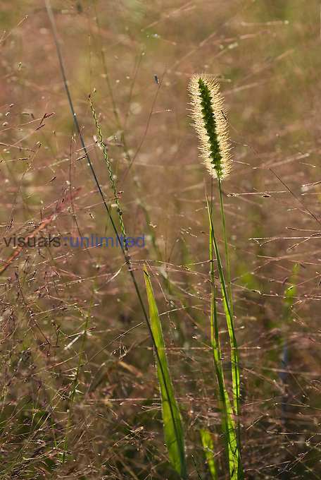 Yellow Foxtail (Setaria pumila) seedhead and leaves