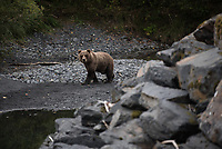 Brown bears along a salmon stream in Kodiak.