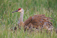 Sandhill Crane (Grus canadensis) brooding chicks on a nest in a flooded pasture. Sublette County, Wyoming. May.