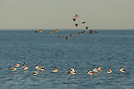 Red-necked Avocet (Recurvirostra novaehollandiae) in Lake Eyre from the shores of Halligan Bay