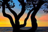 Branches of Heliotrope tree and sunset. Hawaii, The Big Island.