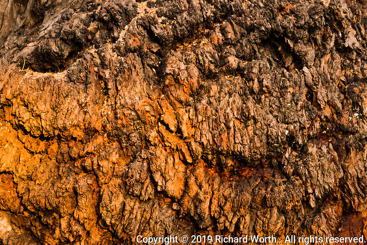 Zooming in on a eucalyptus tree burl creates an abstract of tree bark and the chance to imagine more.  Two eyes in the top left and right, and from there the mind can create a mouth, or not.  Imagine this...