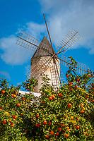 Spanien, Mallorca, Palma de Mallorca: alte Windmuehle in Palmas Altstadt in der Carrer Dels Molins De Migjorn vor Orangenbaeumen | Spain, Mallorca, Palma de Mallorca: old windmill in old town with orange trees