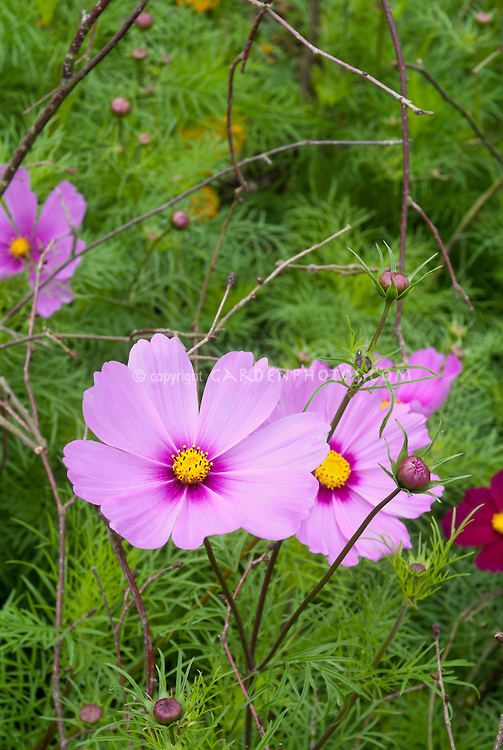 Cosmos 'Early Sensation', pink annual flowers with yellow center