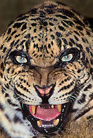 654309034 portrait of a snarling adult male african leopard panthera pardus - animal is a wildlife rescue - species is native to sub-saharan africa -echo
