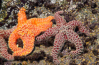 Nootka Island, British Columbia, Canada, August 2006. Brightliy coloured Starfish  in a tidal pool. Low tide takes us over the beaches and rockshelves with tidal pools to the Crawfish Falls. Trekking the Nootka trail takes hikers through dense rainforest and along beaches full of marine life. Photo by Frits Meyst/Adventure4ever.com.