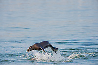 "California sea lion (Zalophus californianus) ""porpoising.""  Central California Coast.  This sea lion seemed to be playing with several other sea lions.  This jumping out of the water while playing with other sea lions is fairly common behavior."
