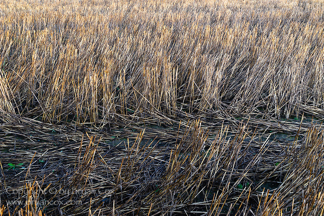 Straw stubble, Willamette valley, Oregon