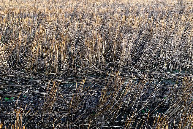 Straw stubble, Willamette valley, Oregon
