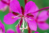 Fireweed blossom detail, Fairbanks, Alaska