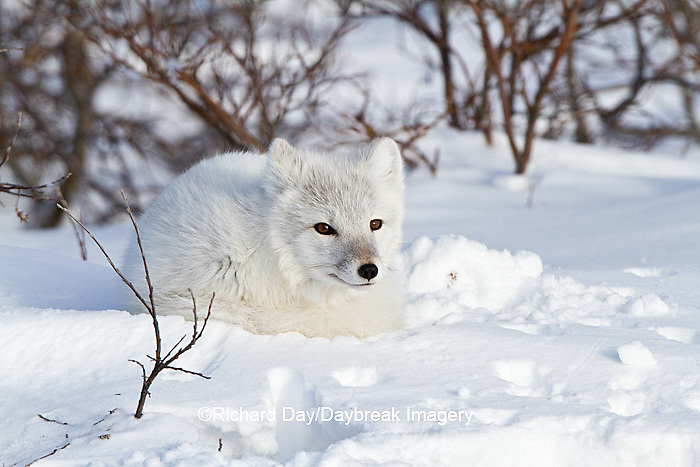 01863-01103 Arctic Fox (Alopex lagopus) in snow in winter, Churchill Wildlife Management Area, Churchill, MB Canada