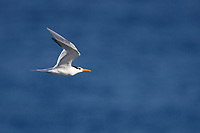 Royal Tern (Thalasseus maximus maximus), American subspecies, adult in winter plumage in flight off Punta Las Tunas, Arecibo, Puerto Rico.