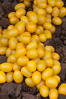 Yellow Grape Tomato,'Ildi' - cherry type in gold color and oval shape