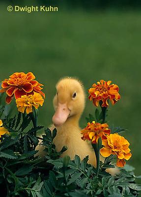 DG20-121z  Pekin Duck - duckling