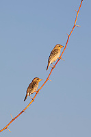 Pair of Weavers birds on tree branch at Chattra Sagar nature reserve at Nimaj, Rajasthan, Northern India