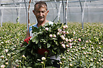 """Foto: VidiPhoto<br /> <br /> SLIJK-EWIJK – Bij pruimenteler Frederik Bunt in het Betuwse Slijk-Ewijk worden vanaf maandag volop pioenrozen geoogst door zijn Poolse medewerkers. Het snijden van de stelen begint onder de plastic kap en gaat daarna verder op de percelen bij zijn pruimenbomen. De met 50 ha. grootste pruimenteler van ons land, 'zit' ook in de bloemen om tussen de bedrijven door over voldoende """"cash flow"""" te kunnen beschikken, maar ook om zijn werknemers aan het werk te houden. 's Morgens worden eerst pioenen geoogst, daarna worden de pruimen 'gedund'. De helft van de wereldproductie aan pioenrozen wordt in Nederland gekweekt. Een deel daarvan gaat in koelcellen en gaat pas in oktober weg als exportproduct naar de VS waar het hele jaar door vraag is naar deze snijbloem. De prijzen zijn goed op dit moment, maar zullen volgende week naar verwachting door de naderende Franse moederdag nog stijgen."""