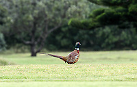 Danny the Pheasant. Jennian Homes Charles Tour Autex Muriwai Open, Muriwai Links Golf Course, Muriwai, Auckland, New Zealand,Thursday 12 April 2018. Photo: Simon Watts/www.bwmedia.co.nz