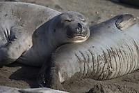Northern Elephant Seal (Mirounga angustirostris) females resting on the beach at Piedras Blancas Elephant Seal Rookery in California.