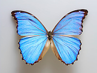 Brazilian Blue butterfly photo. Funky stock butterfly photos