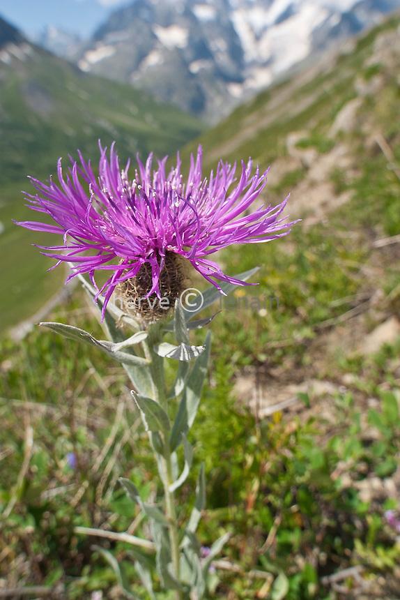Vers la crête de Chaillol (entre le col du Lautaret & du Galibier) : centaurée uniflore ou à une fleur (Centaurea uniflora) & au loin la Meije (montagne) // Centaurea uniflora, Near the col du Lautaret, Alpes, France.