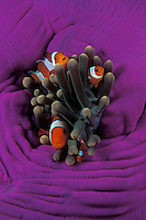 Nemo and Family: A family of Western Clown Anemonefish, Amphiprion ocellaris, snuggle among the venomous tentacles of their host, a Magnifiecnt Sea Anemone, Heteractis magnifica. The anemonefish develop an immunity to the tentacles, whose sting would prove fatal for many other fish.  North Sulawesi, Indonesia, Pacific Ocean