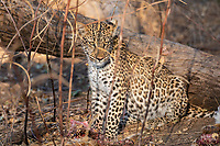 Africa, Zambia, South Luangwa National Park, leopard and his prey