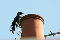 Jackdaw (Corvus monedula) on an aerial making a nest in a chimney, Chipping, Lancashire.
