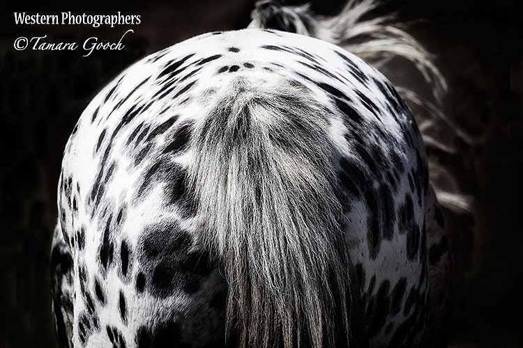 A photograph of an leopard appaloosa shot from the rear in black and white.