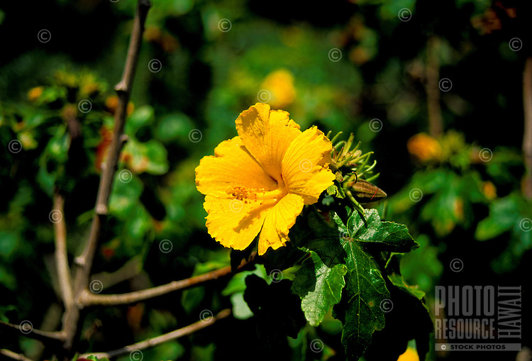 The native yellow hibiscus (brackenridgei) is the state flower of Hawaii.