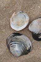Islandmuschel, Islandmuschel, Piepmuschel, Schale, Muschelschale am Strand, Spülsaum, Arctica islandica, Cyprina islandica, ocean quahog, Icelandic cyprine, mahogany clam, mahogany quahog, black quahog, black clam