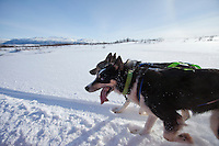 Alaskan Huskies panting while dog-sledding at Villmarkssenter wilderness centre on Kvaloya Island, Tromso in Arctic Circle, Northern Norway