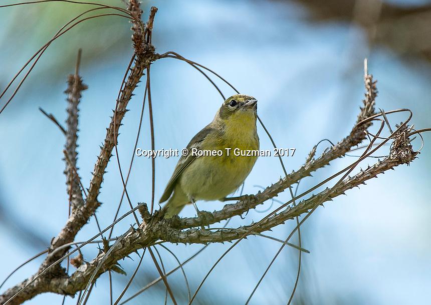 February 4, 2017: Pine Warbler (Setophaga pinus) Joe Overstreet Landing, Kenansville, FL