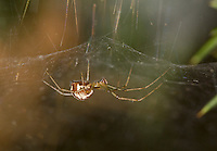 Linyphia triangularis - Female. The most common large Linyphiid spider in gardens and the wider countryside.