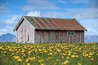 Old barn in field of flowers, Sanden, Austvågøy, Lofoten Islands, Norway
